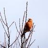 冬晴れの疎林の中を飛ぶイスカ