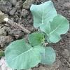秋冬野菜の苗