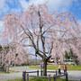 【Nikon Z 50・仙台・大町西公園駅】西公園のソメイヨシノと愛姫桜   April 2021