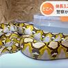 『ひょえーーーー!!!(3.2メートルのアミメニシキヘビが逃走)って』。。。
