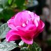 レスポワールの開花と暫しの別れ L'espoir