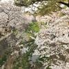 さくら満開の西宮・夙川散歩