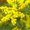 春の植物「ミモザ」の切り花を長く楽しんでお裾分けする方法