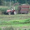 コーンの収穫