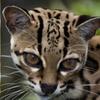 全く違う種族なのに似すぎ?!オセロットにそっくりなネコ、マーゲイとジャガーネコ