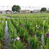 小岩菖蒲園【江戸川区】