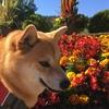 犬と行く秋のthe Butchart Gardens