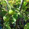 鉢植え菜園