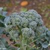 家庭菜園の冬越えをした野菜です