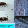 暖海性カラヌス類②:カンソカラヌス・パゥパー