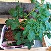 【やらなきゃ分からない】時期外れにジャガイモを水耕栽培したら育つのか?