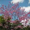 MaxValu 手前の桜