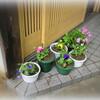 浸水防いだ玄関前にパンジー鉢植え