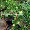 植木鉢で育てても、けっこう大きくなります(ぐんま名月)