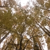 メタセコイアの森へ紅葉散策