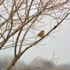 ジィちゃんと探鳥、渡良瀬遊水地の野鳥&秋ヶ瀬公園の野鳥/2018-2-21