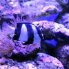 【水槽崩壊】ミスジリュウキュウスズメダイのイジメで他の魚全滅