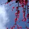 寒風や 凌いで香る 梅の花