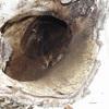 野幌森林公園は楽しい!3 エゾフクロウの樹洞の中はどうなってる?