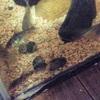 コリドラス|水槽にタニシ投入