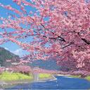 桜咲き誇れ