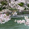 桜便り♪ ー花筏ー