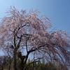 一本の枝垂れ桜