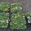 ④雨の中で花植え