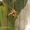 キアシナガバチの女王蜂