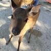 7,850円で宮島の鹿を見に行こう!最高にコスパの良い、奈良県発2泊3日山陽の旅!後編