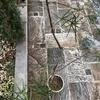 アラレアとハツユキカズラを寄せ植えにしてみました。