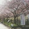 河津桜を見に行ったらすごい良かった。
