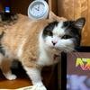 【12月初めの没っちゃん&ばん太】柴犬ばんちゃんの骨折固定がやっと取れ、スコティッシュフォールドの没っちゃんは猫シャンプーでキレイに美容致しました。