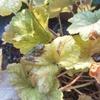玄関アプローチのヒューケラの葉に模様入りのアマガエル