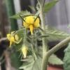 【庭観察】梅雨の合間のキュウリとミニトマトとデルフィニウムとハチ