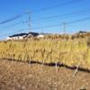 刈り残しの稲を天日干ししました。片付けも!