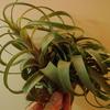 ブラキカウロスの交配種から花芽が上がってきそう