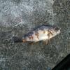 釣魚調査レポートNo.8 【メバル】のシーズン目前!なので、自分の知識全てをキュレーションしておく。