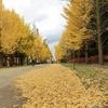 札幌市 中島公園 20201105 / 銀杏並木のベストシーズンに