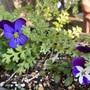 パンジー(ビオラ)の花が咲きました