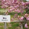緑色の桜!?黄色の桜!?色々な桜をご紹介(写真付)