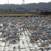 白鳥の集団
