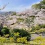 尾道 満開🌸千光寺公園の桜 2021.4.1