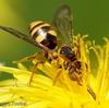 ミツバチの仲間たち