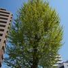 街路樹のようす