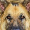 犬が飼い主を見るのは愛の証?愛犬とのコミュニケーション方法