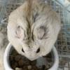 ほお袋にご飯をため込むジャンガリアンハムスターのバナナちゃん。豆知識:飼育温度について