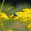 奈良県明日香村で希少なメタリック・ブルー・ビー(青蜂・セイボウ)に出会う。日本に青い蜂がいるなんて知らなかった。