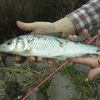 【鯉釣りブログ】跳ねてる魚は釣れないようですΣ(゚Д゚)
