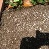 【家庭菜園】枝豆が発芽しました